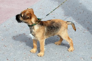 Ted the Border Terrier on Douglas Promenade