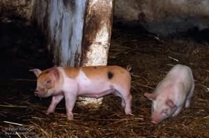 Cregneash Farm - Easter 2012 - © Peter Killey