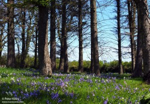 A Bluebell and Whitebell Wood in Lonan - © Peter Killey