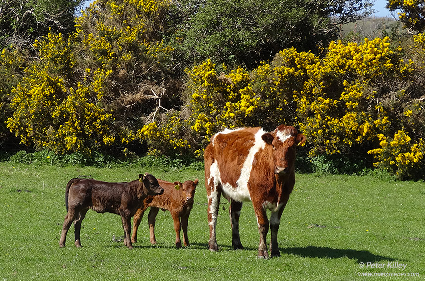 Mum and her new family at Ballacrye Farm - © Peter Killey