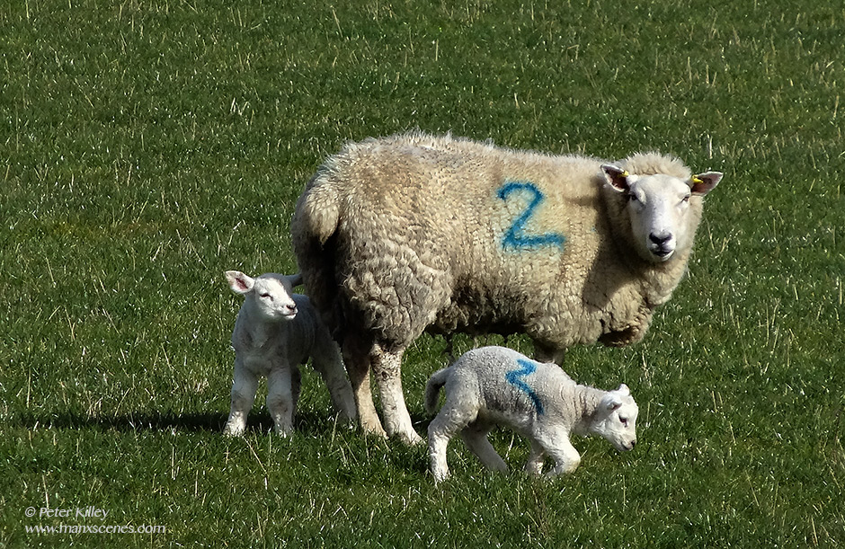 Ballaugh Lambs © Peter Killey - www.manxscenes.com