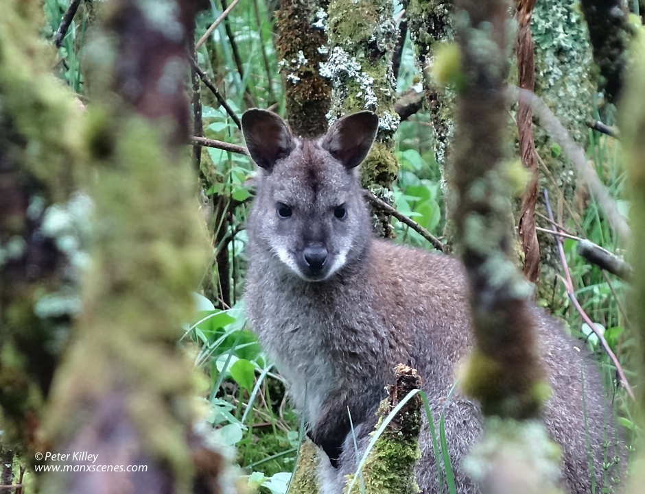 A Mummy Wallaby © Peter Killey - www.manxscenes.com