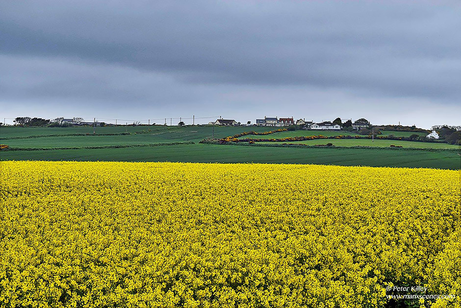 A Rapeseed field in Andreas © Peter Killey - www.manxscenes.com