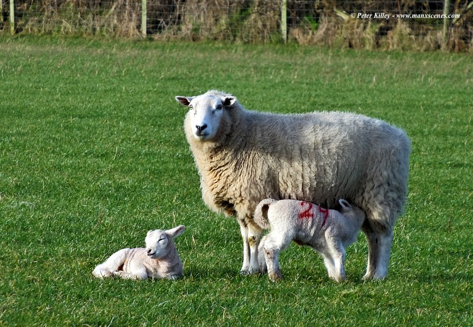 Early Spring Lambs © Peter Killey - www.manxscenes.com