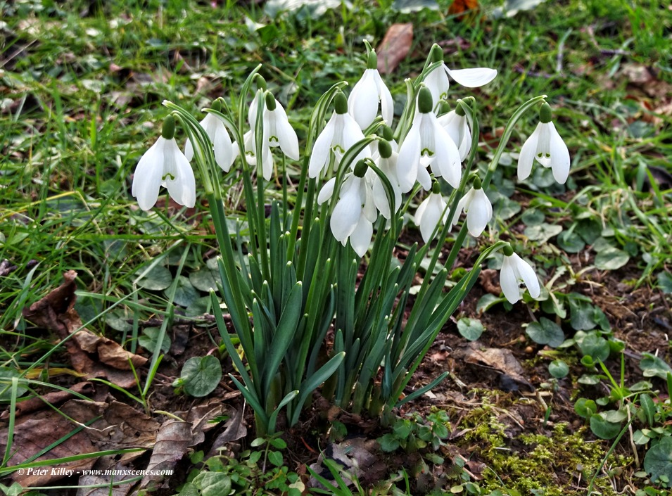 Snow Drops in Ballaugh © Peter Killey - www.manxscenes.com