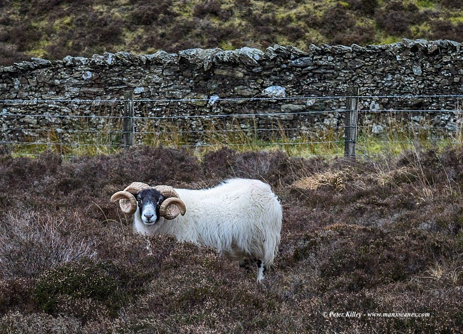 Druidale Ram © Peter Killey - www.manxscenes.com