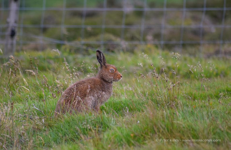 A Manx Hare © Peter Killey - www.manxscenes.com