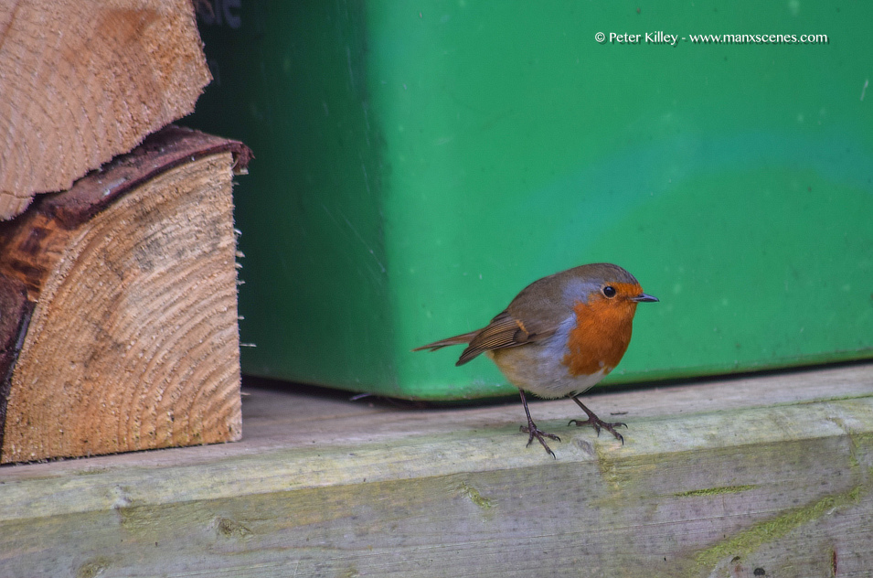 A Christmas Robin © Peter Killey - www.manxscenes.com