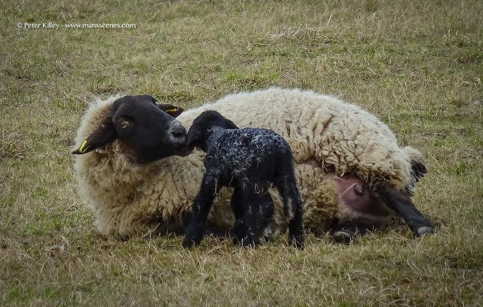 Black Sheep © Peter Killey - www.manxscenes.com