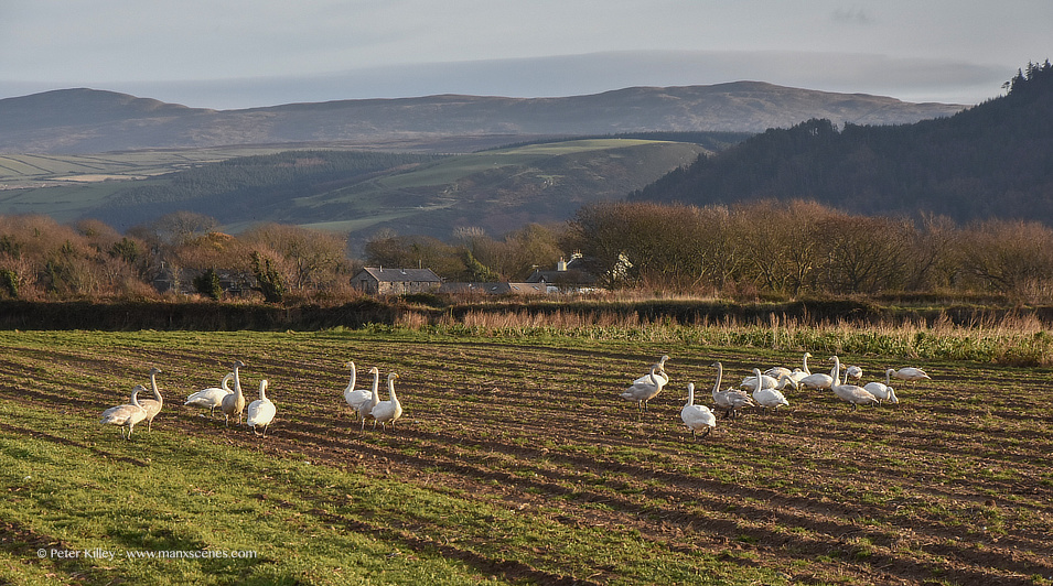 Whooper Swans © Peter Killey - www.manxscenes.com