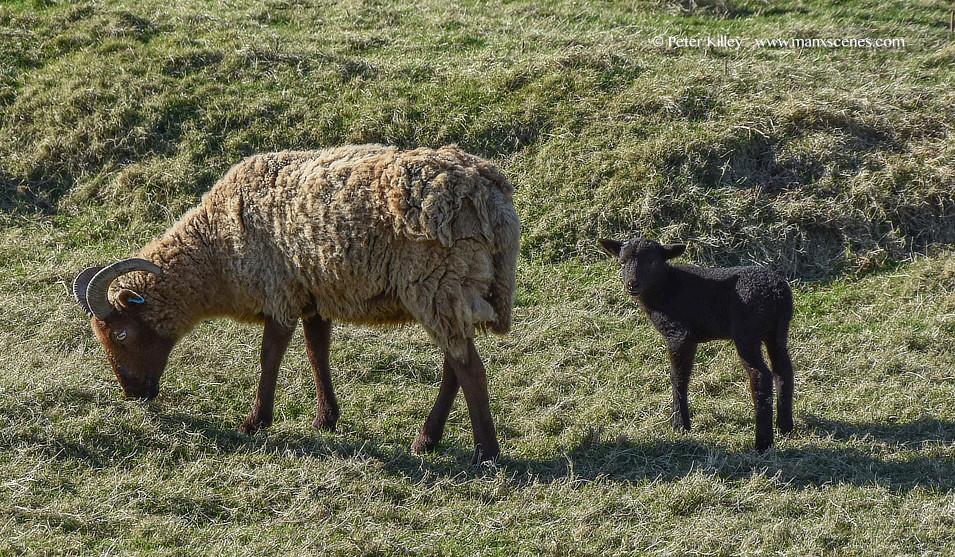 Loaghtan Sheep © Peter Killey - www.manxscenes.com