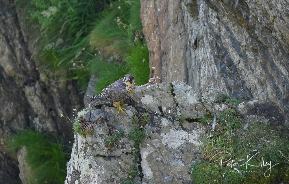 Peregrine Falcon - Isle of Man © Peter Killey - www.manxscenes.com