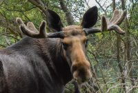Manx Moose at the Wildlife Park © Peter Killey - www.manxscenes.com