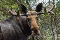 Manx Moose at the Wildlife Park © Peter Killey - www.manxscenes.com