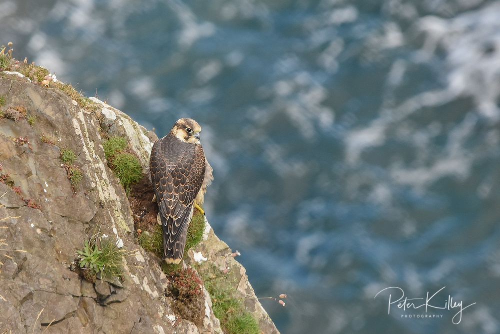 Juvenile Peregrine Falcon © Peter Killey - www.manxscenes.com