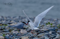 Artic Terns - Point of Ayre