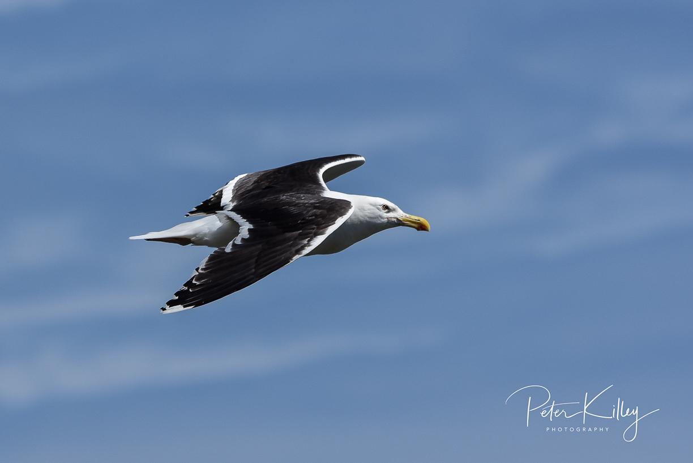 Black Back Gull - Marine Drive