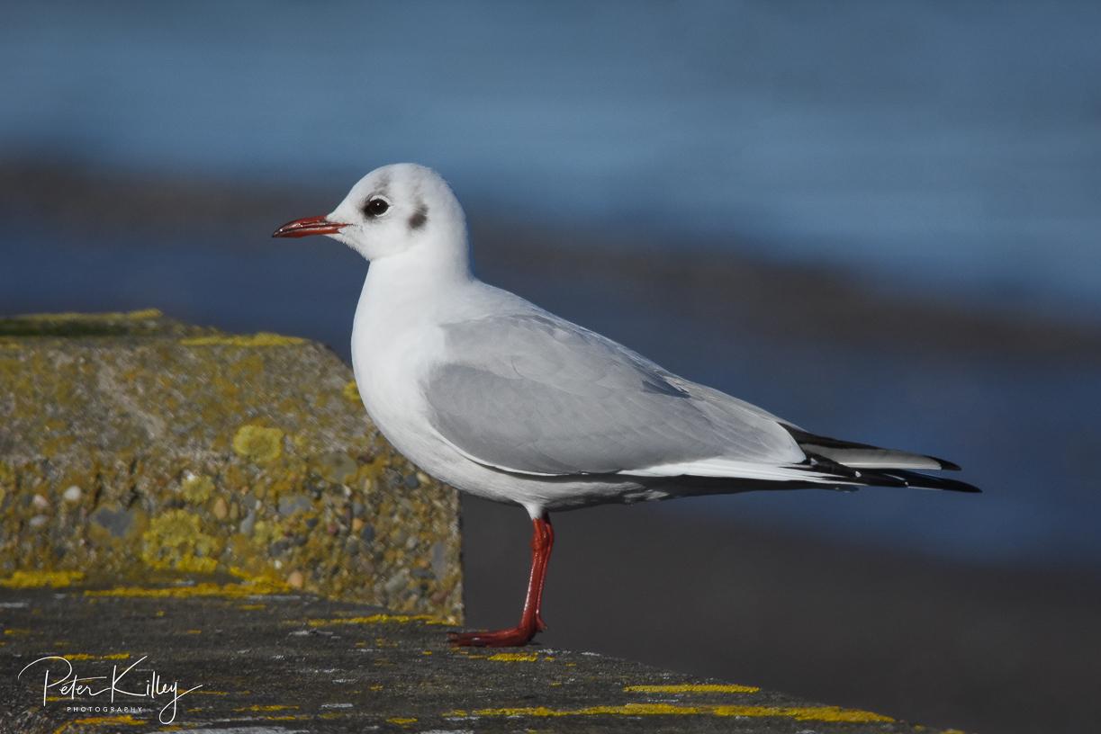 Black-Headed Winter Gull - Ramsey Piers