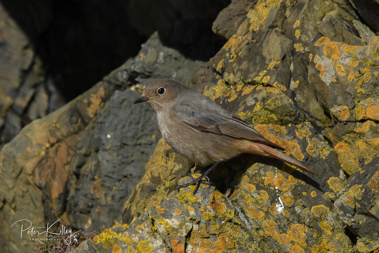 Black Redstart - Fenella Beach in Peel
