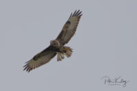Common Buzzard - Isle of Man