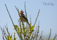 Chaffinch Ballanette Nature Reserve.