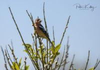 Chaffinch Ballanette Nature Reserve.