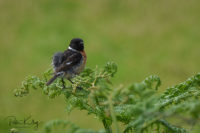 Juvenile Stonechat - Maughold