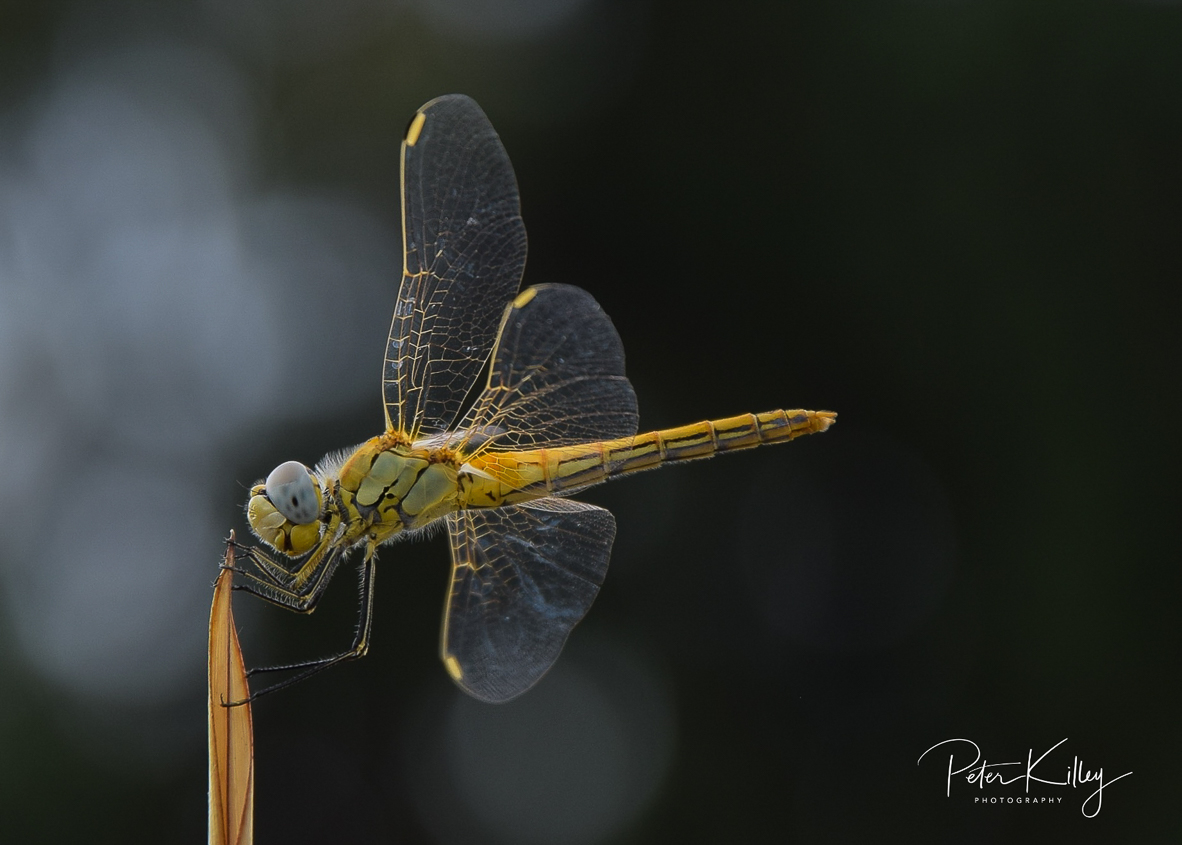 A Darter Dragonfly