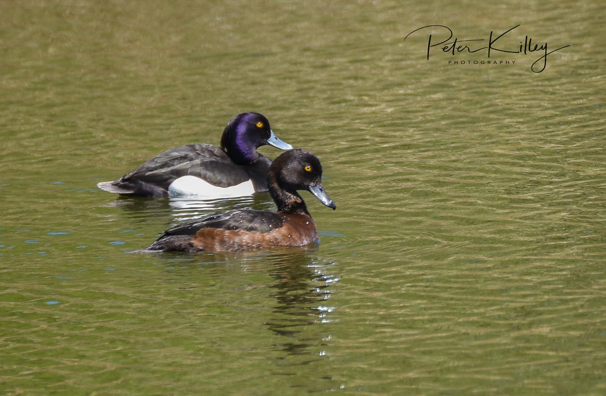 Tufter Ducks at Ballanette Nature Reserve.