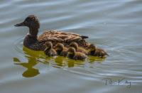 Ducks Ballanette Nature Reserve.