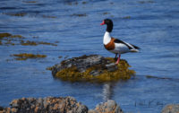 Shelduck at Langness