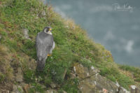 Peregrine Falcon - Isle of Man