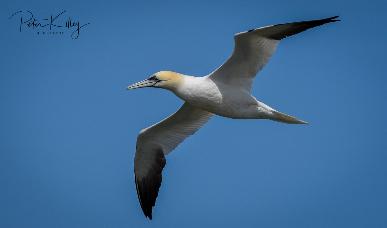 Gannet Point of Ayre