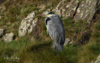 Grey Heron at Langness