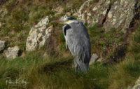 Grey Heron at Langness