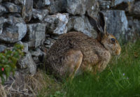 Brown Hare - St Lukes - Baldwin