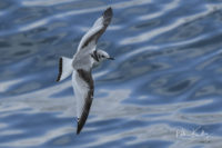 Juvenile Kittiwake Peel © Peter Killey - www.manxscenes.com