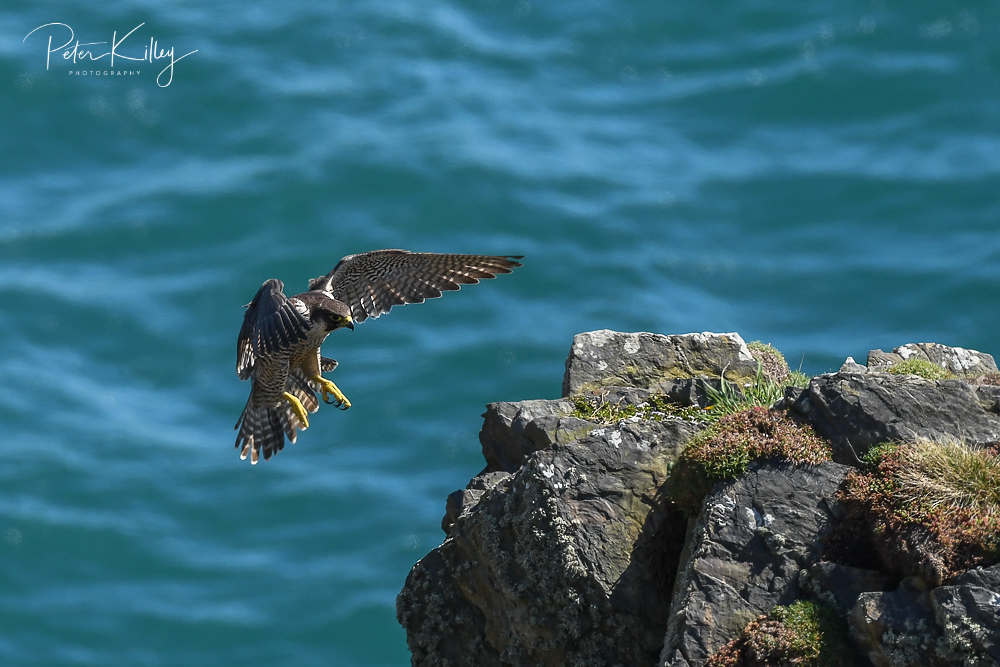 Male Peregrine Falcon © Peter Killey - www.manxscenes.com