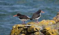 Oyster Catchers - Port e Vullen, Maughold