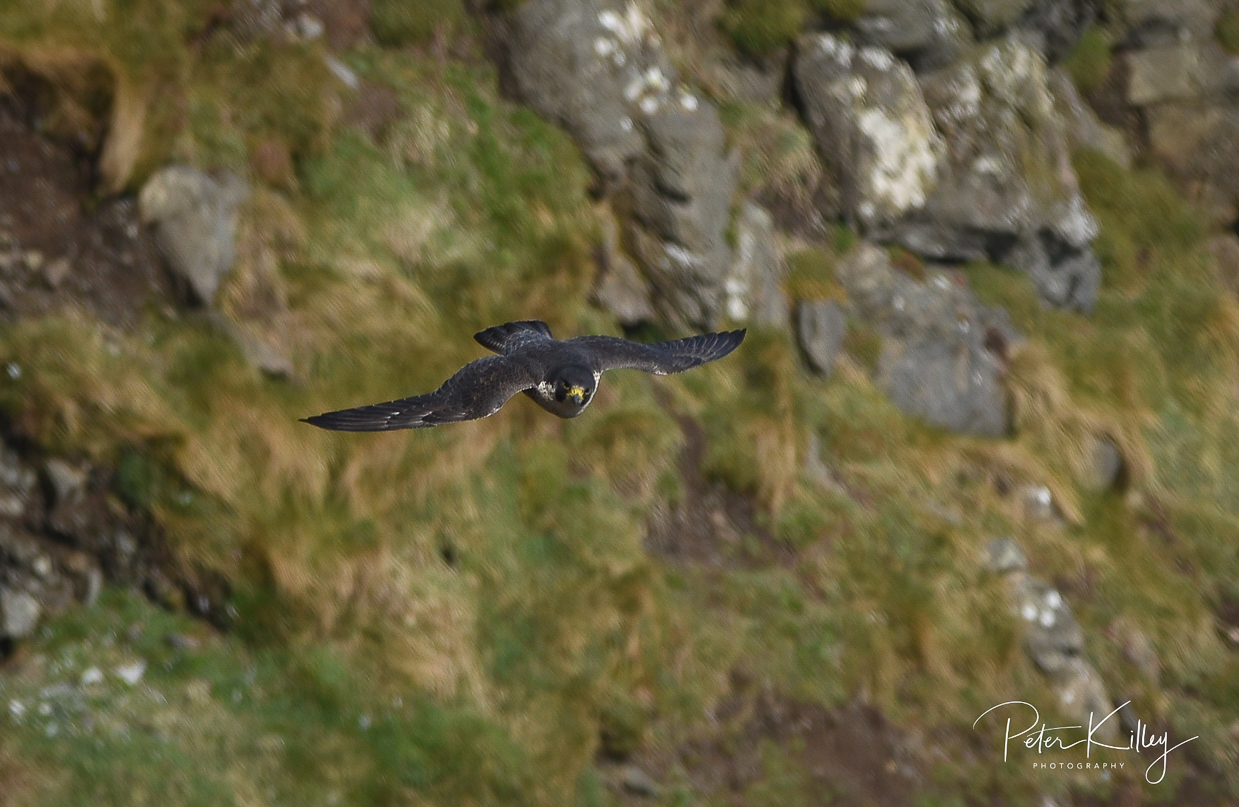 Incoming Peregrine