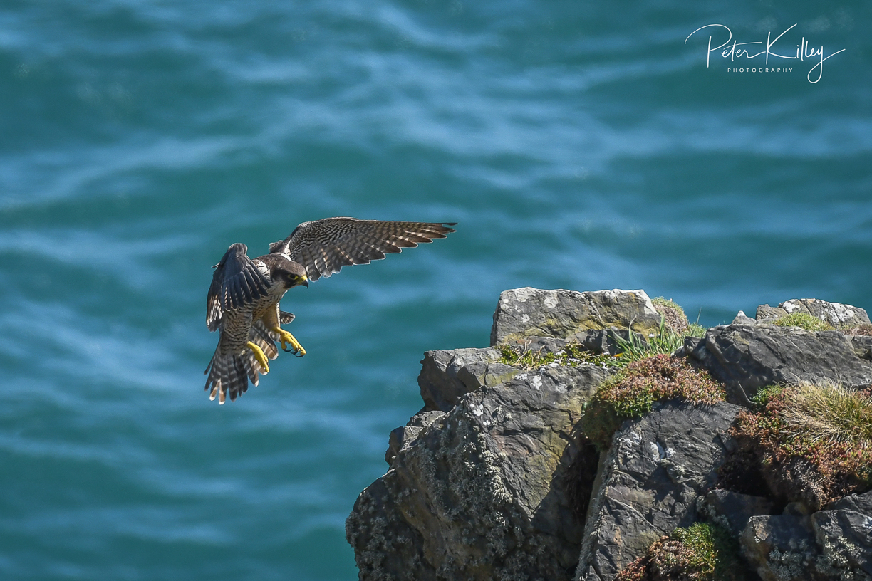 Peregrine coming into land