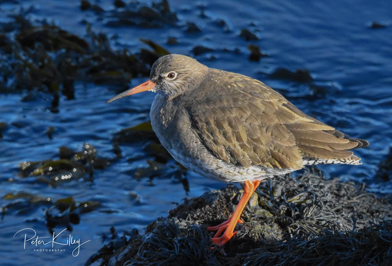 Redshank Peel Harbour
