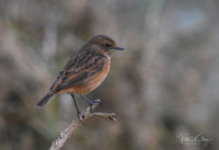 Stonechat at the Point of Ayre