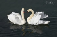 Swans in Douglas Harbour