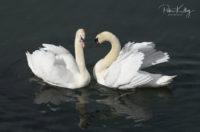 Swans in Douglas Harbour