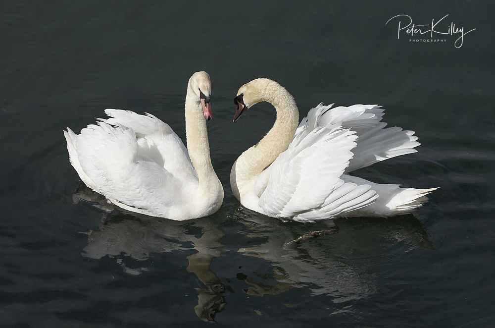 Swans © Peter Killey - www.manxscenes.com