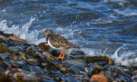 Turnstone Point of Ayre
