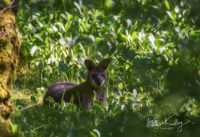 Wallaby in the Curraghs in Ballaugh