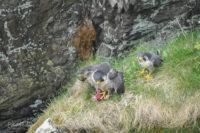 Female (feeding) and Male Peregrine Falcons Isle of Man 18/05/18 © Peter Killey - www.manxscenes.com