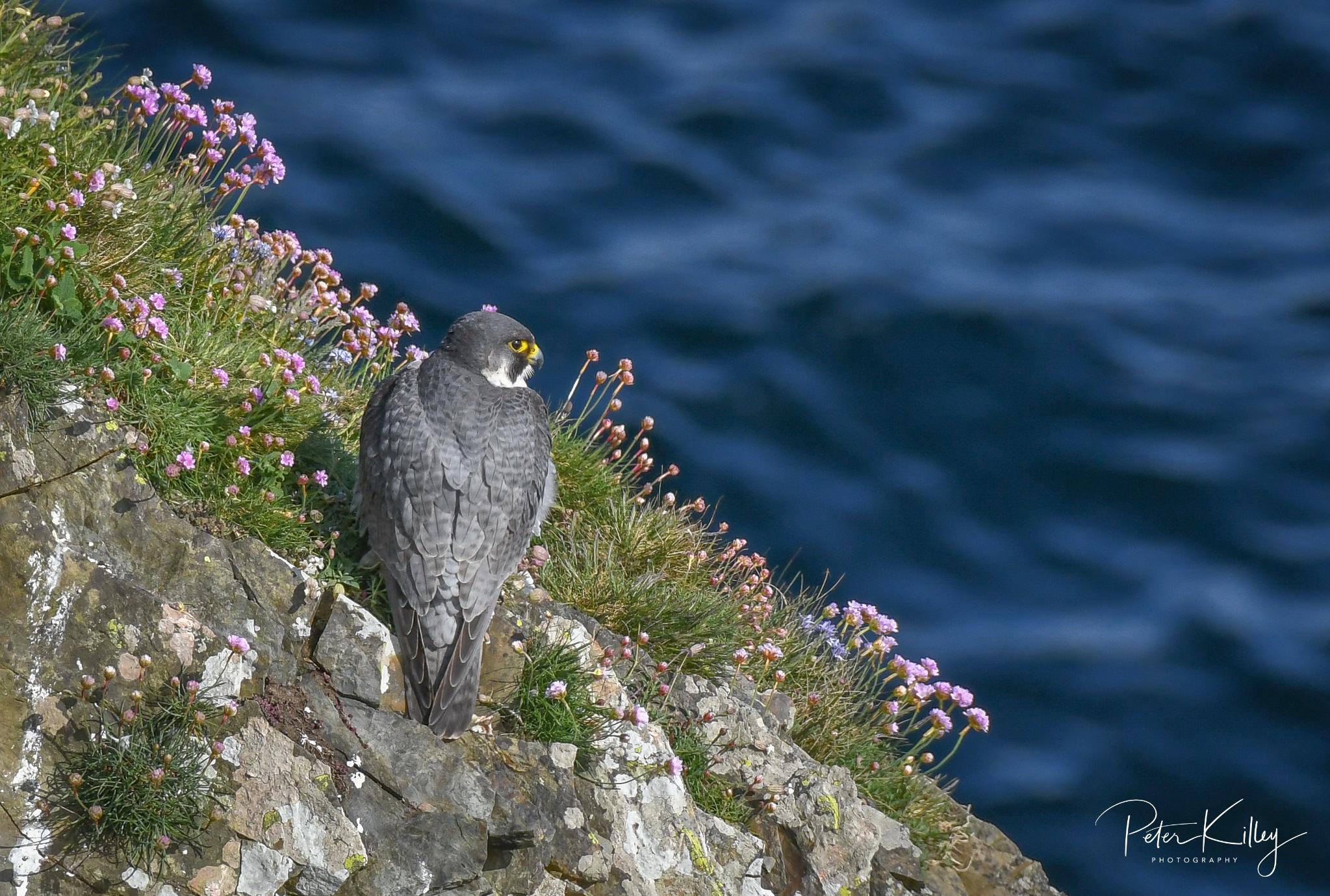 Male Peregrine Falcon © Peter Killey - www.manxscenes.com